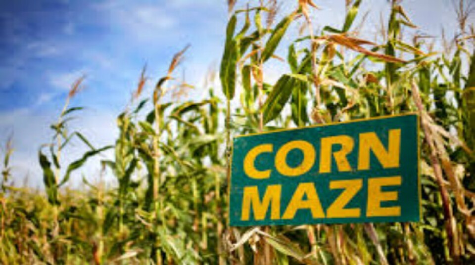 High School Corn Maze/Hangout
